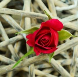 rose-829176_960_720